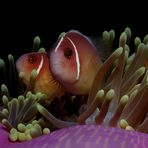 Halsband-Anemonenfisch -Amphiprion perideraion-