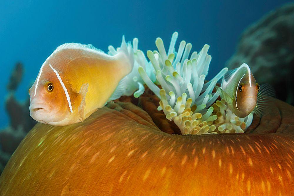 * Halsband-Anemonenfisch *