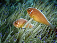 Halsbandanemonenfische