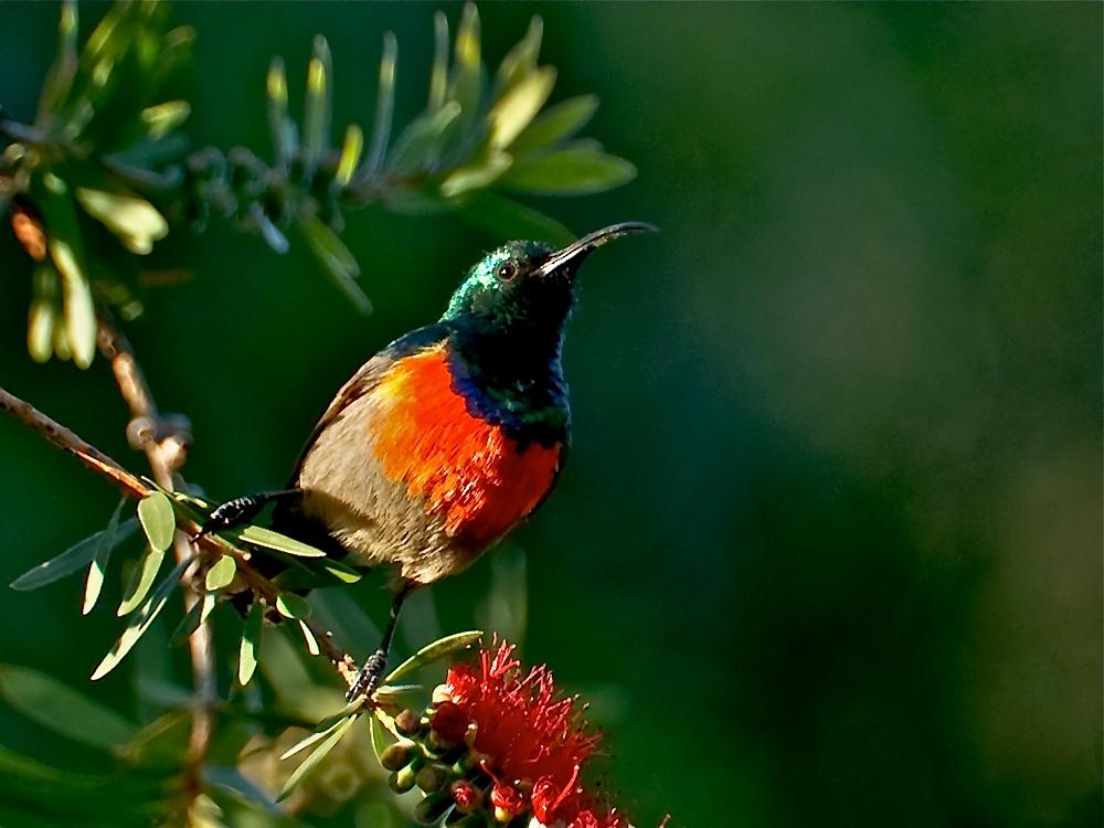 Halsbandnektarvogel (Cinnyris chalybeus)