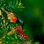 Halsbandnektarvogel (Männchen)