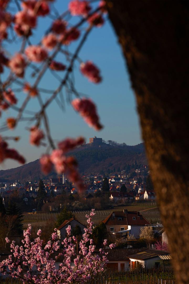 Hambacherschloß im Focus der Mandelblüte