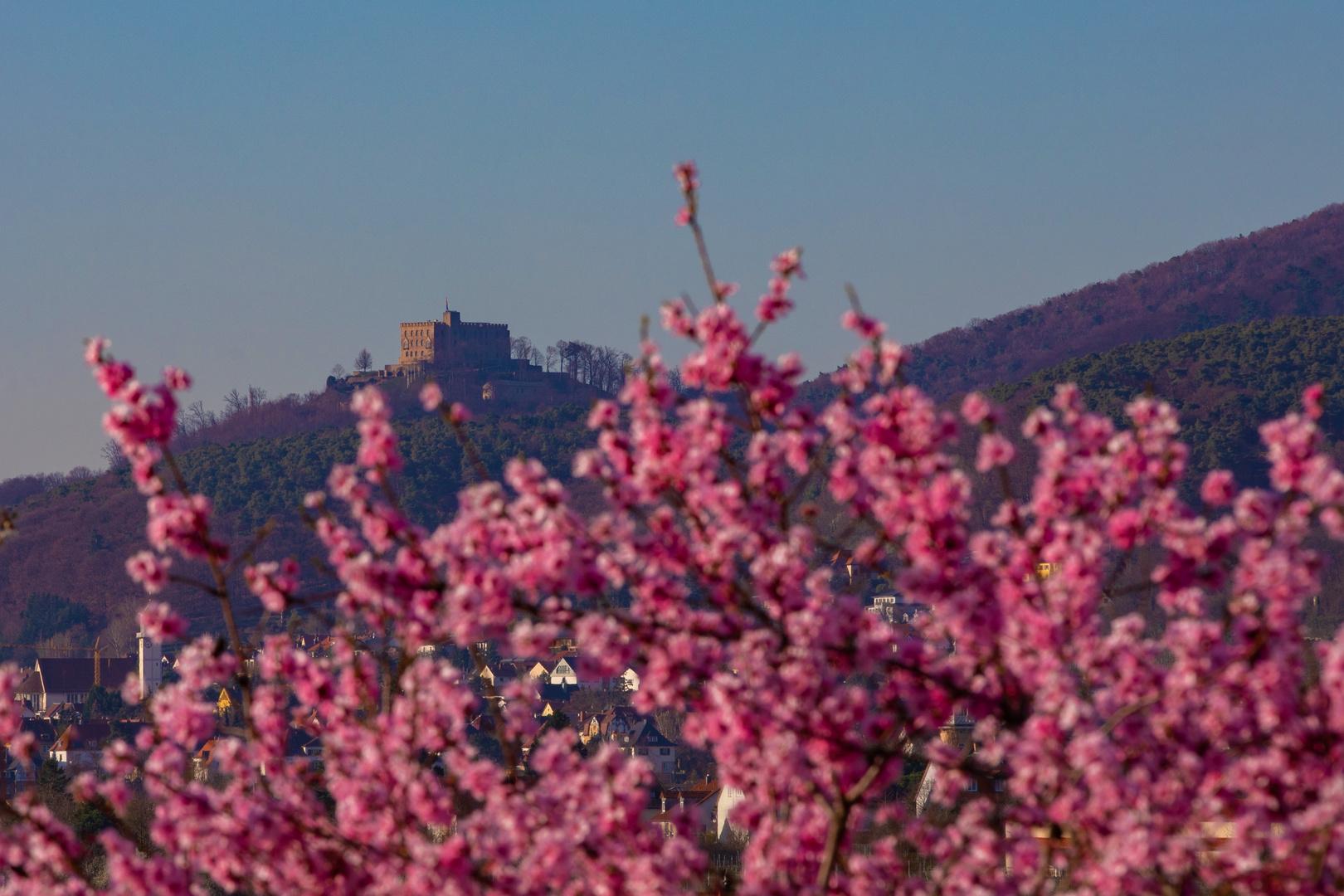 Hambacherschloß  voller Rosa Blüten