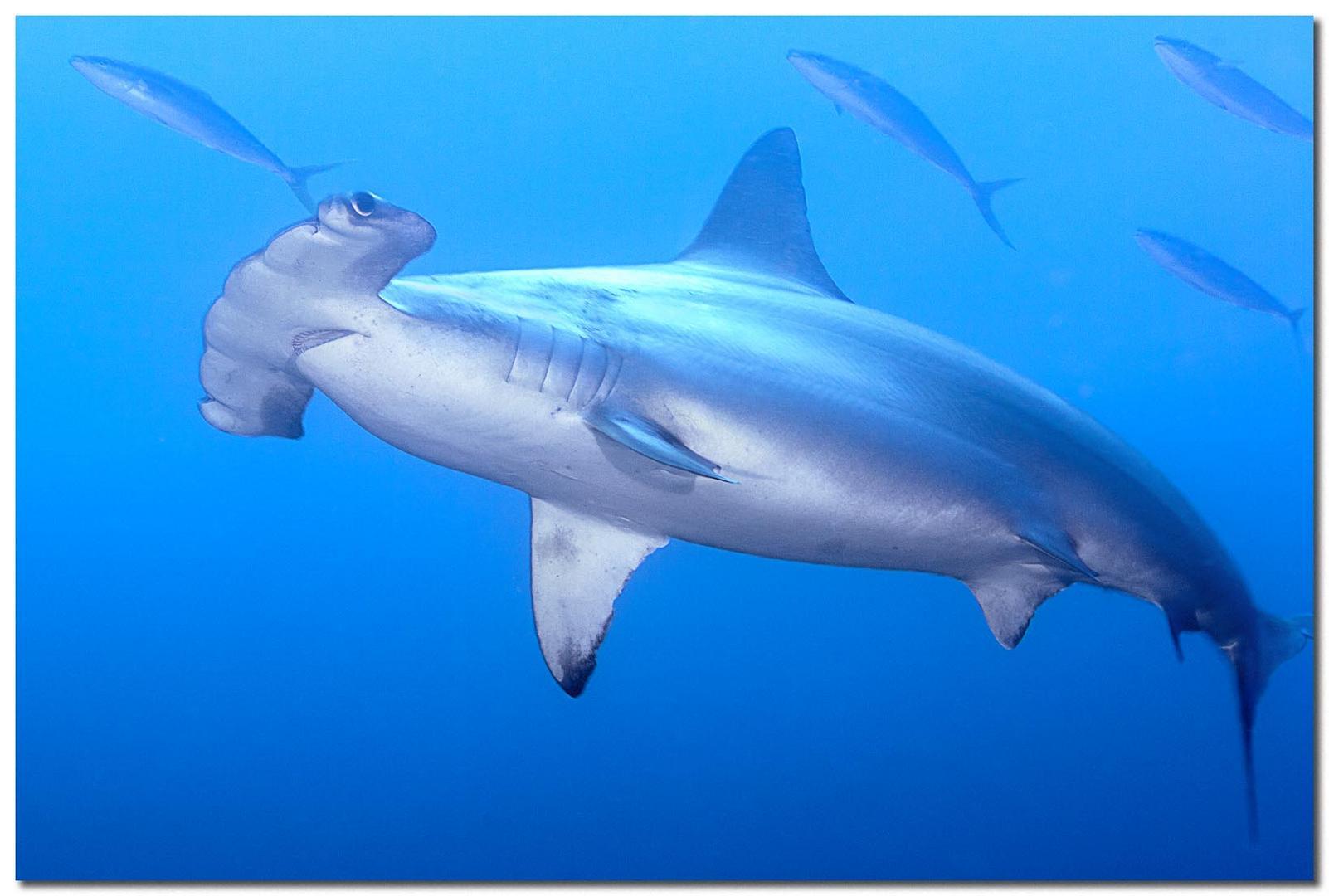 Hamer Hai
