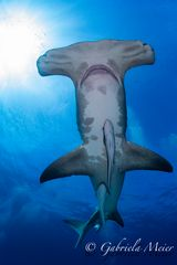 Hammerhead Shark called Patches