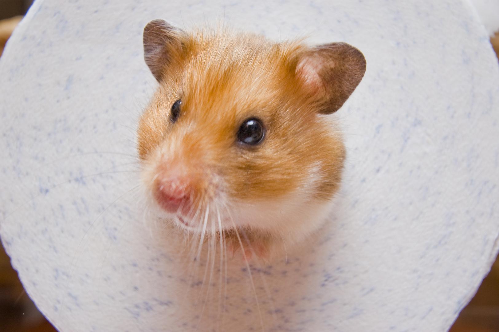 Hamster durch die Klopapierrolle