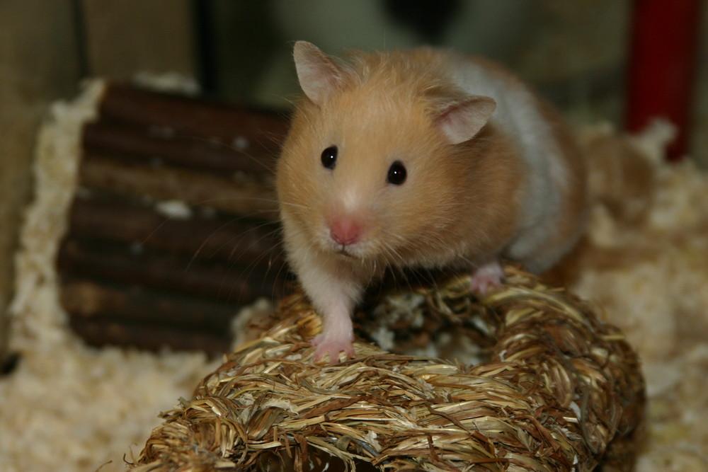 Hamster Ham