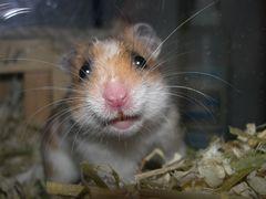 Hamster Kalle