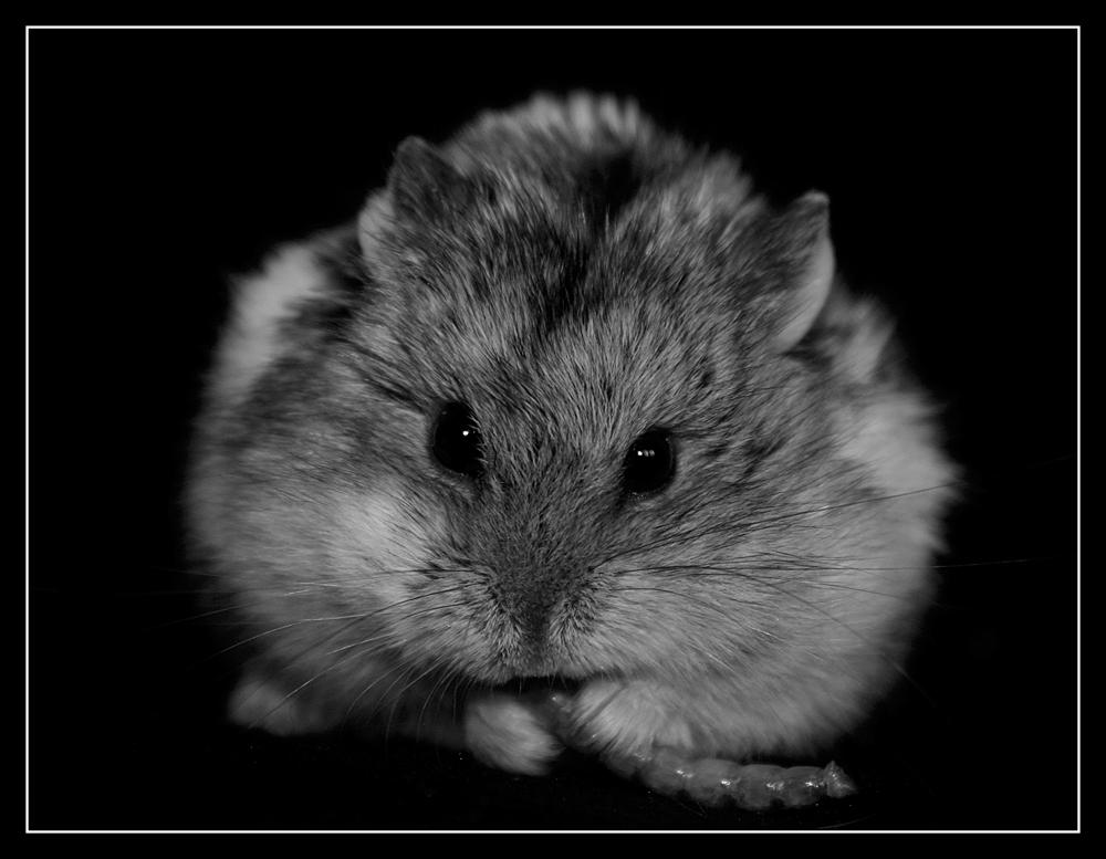 Hamster mit Mehlwurm