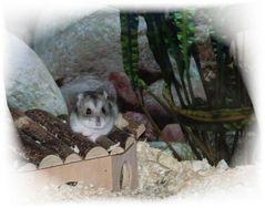 hamster modell
