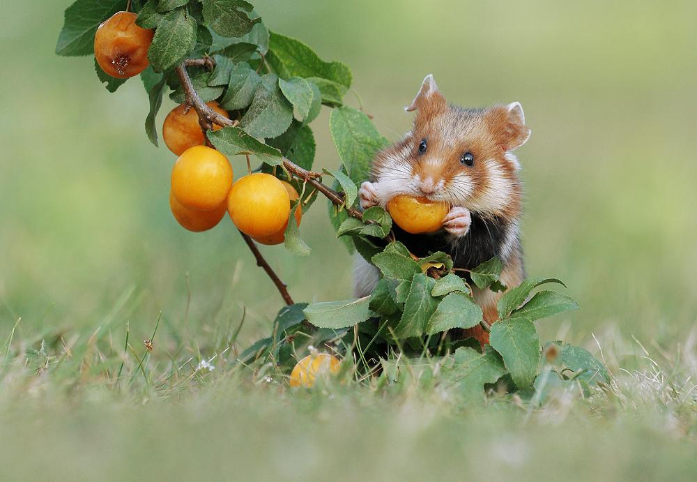 Hamster Nimmersatt