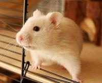 hamsterman