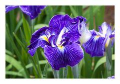 Hana Shobu=Iris