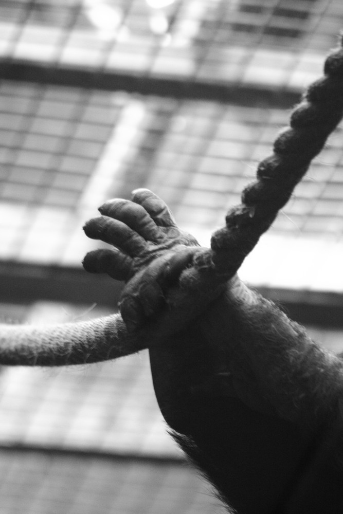 Hands Of A Chimp