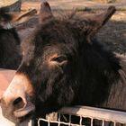 Handzahmer Esel im Tierpark