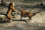 Hanja und Altai kämpfen