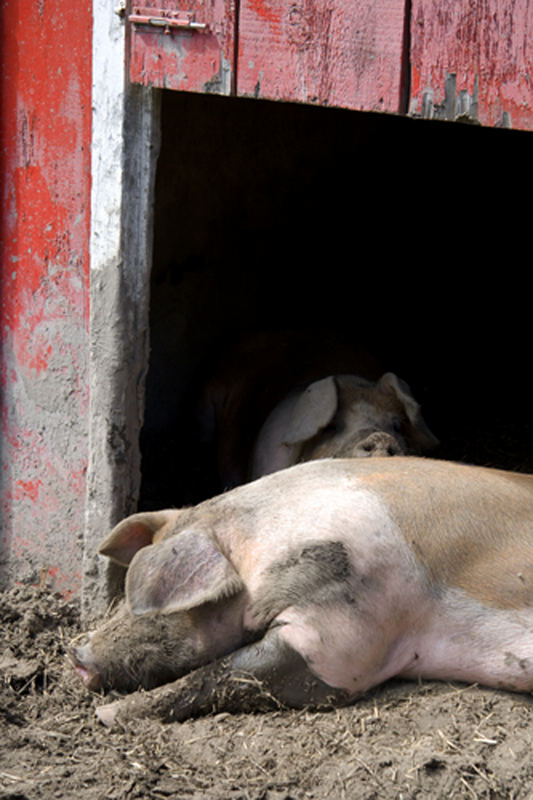 Happy as pigs ... !