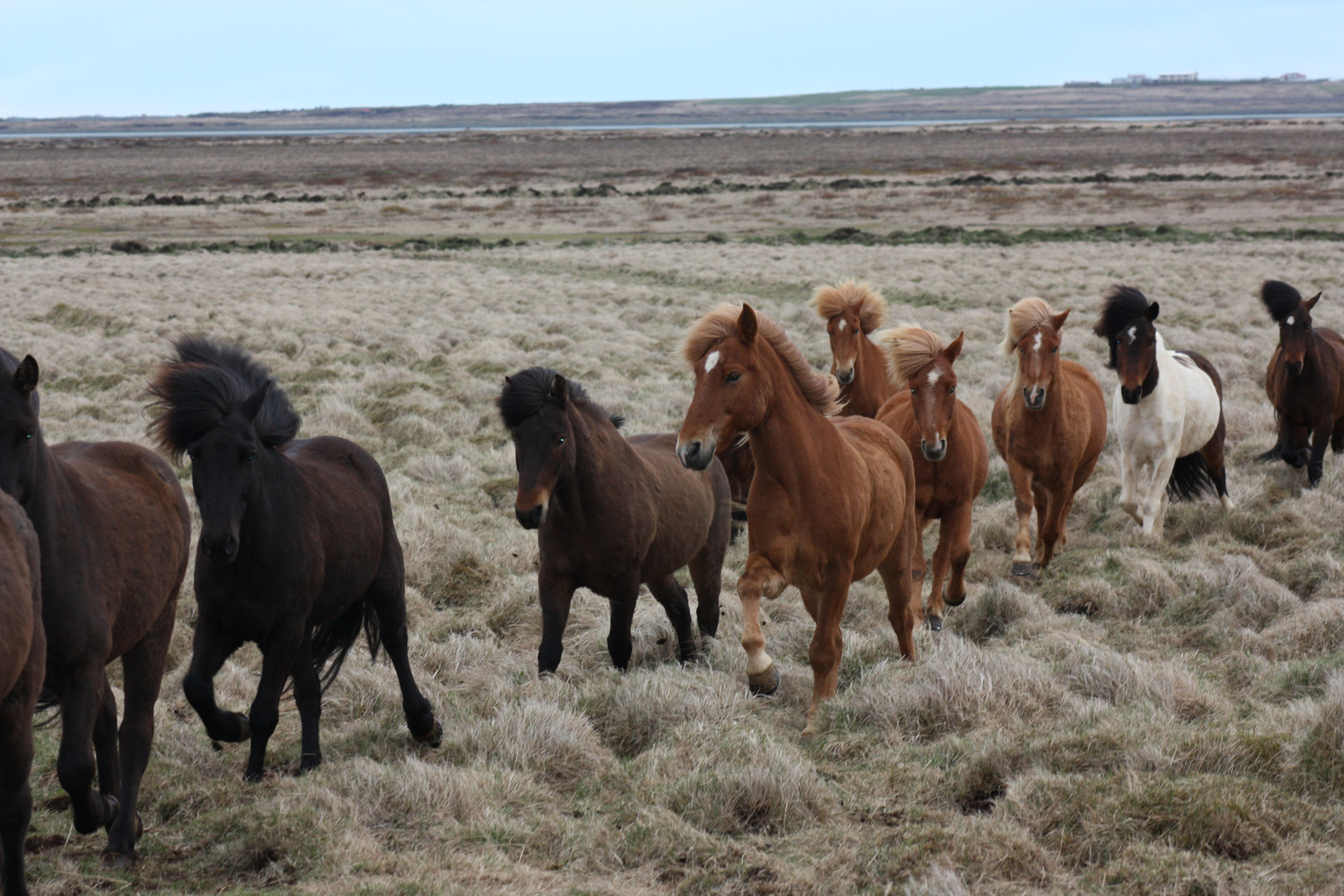 Happy Horses in Iceland