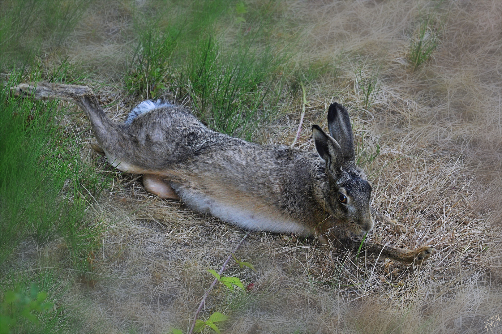 Hare relaxing in the field..