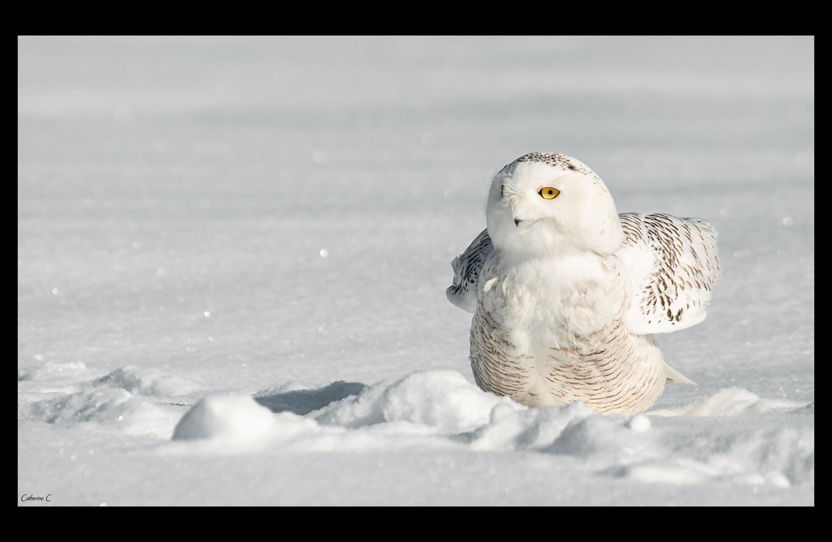 Harfang des neiges (2)