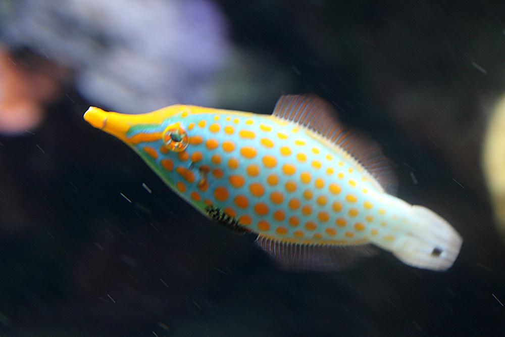 Harlekin Feilenfisch