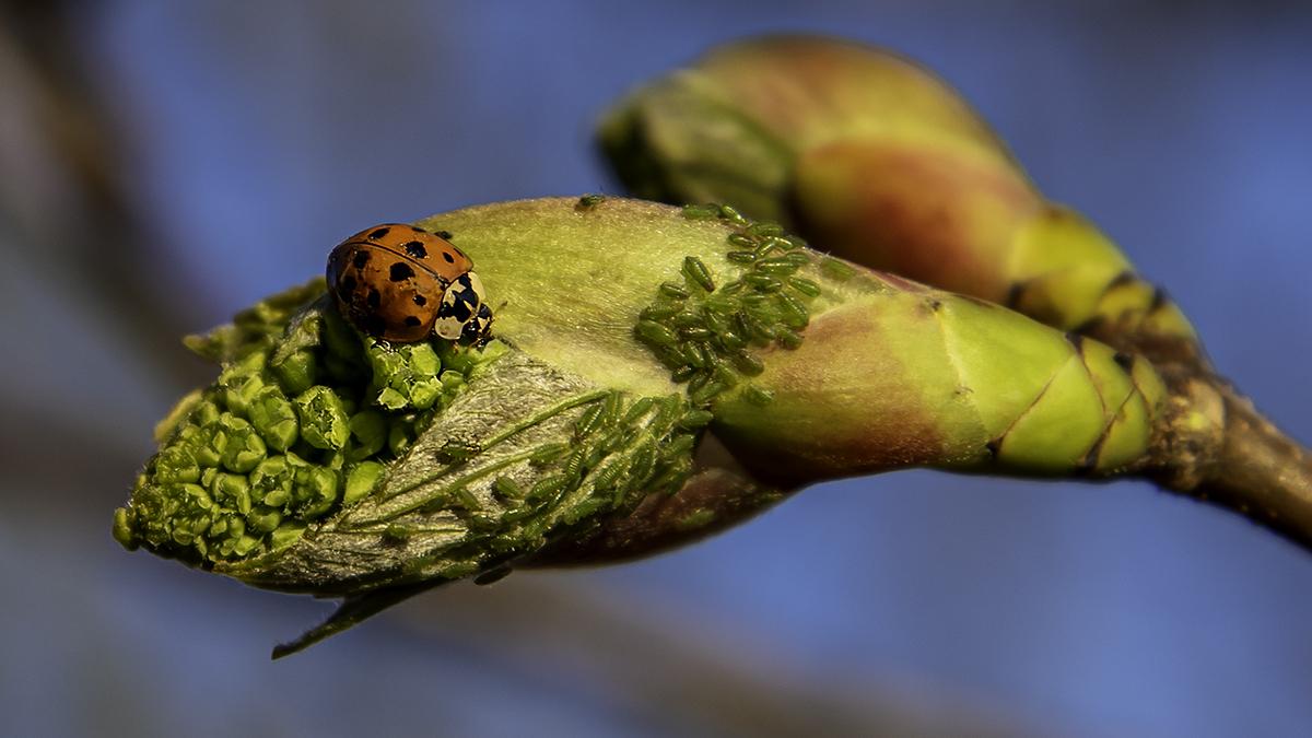 Harlekin-Marienkäfer mit Blattläüsen