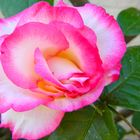 Harlekin-Rose