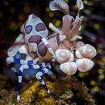 Harlekingarnele (Hymenocera picta)