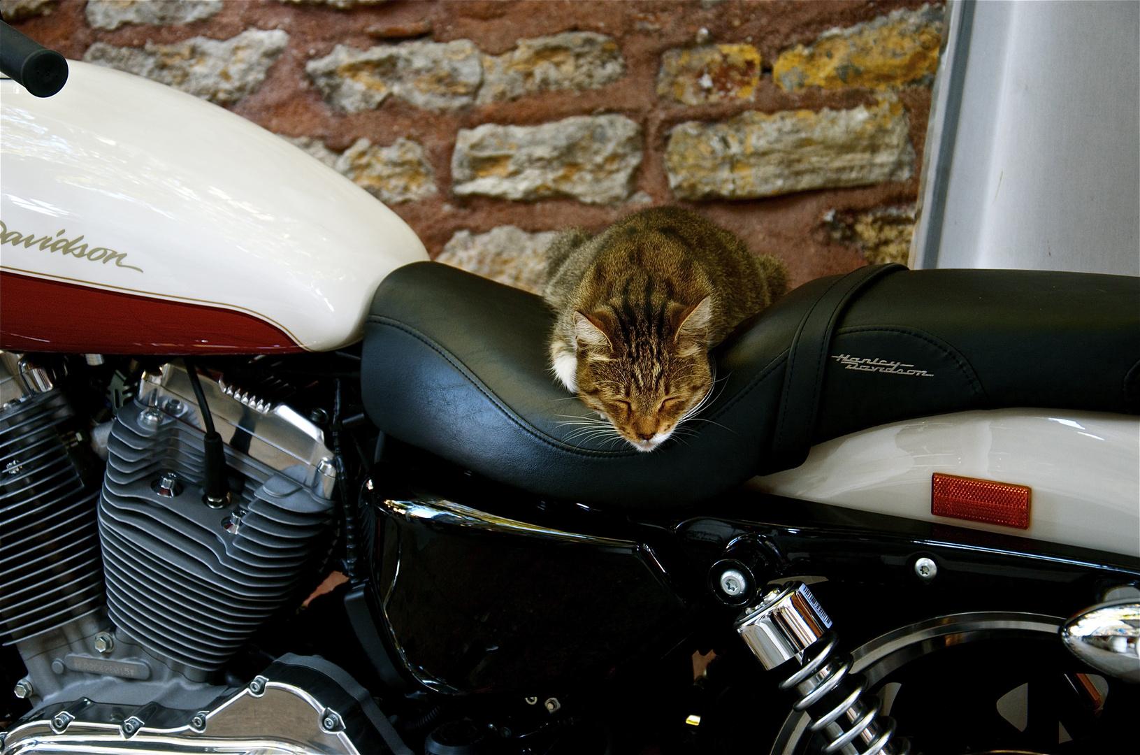 Harley Davidson Cat