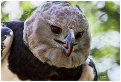 Harpyie bei der Fütterung