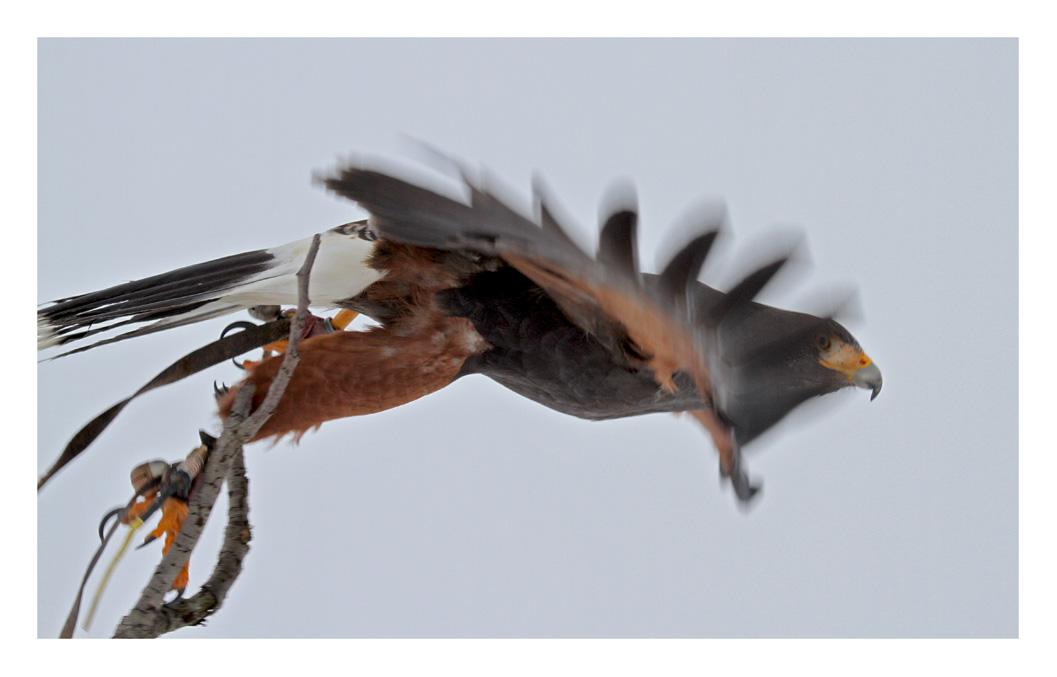 Harris-Hawk auf Jagd - Start -