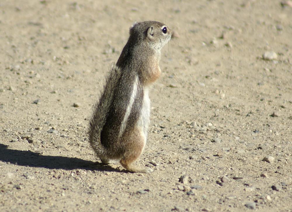 Harriss Antilopen-Grundeichhörnchen in der Wüste