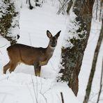 Harter Winter ... nicht nur für Rehe
