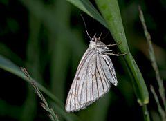 Hartheuspanner (Siona Lineata) - Un papillon de nuit...