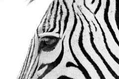 Hartmann Berg-Zebra Close up
