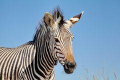 Hartmann Berg Zebra Portrait