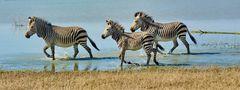 Hartmann Mountain Zebras im Wasser 1070199