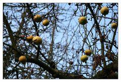 Hartnäckig verweilen sie am Baum...