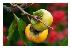 Harvest season (persimmon)