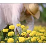 Harvested Flowers (Thailand - Isan)
