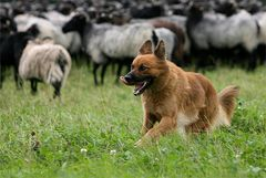Harzer Fuchs...