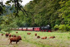 Harzer Rotes Höhenvieh am Gleis