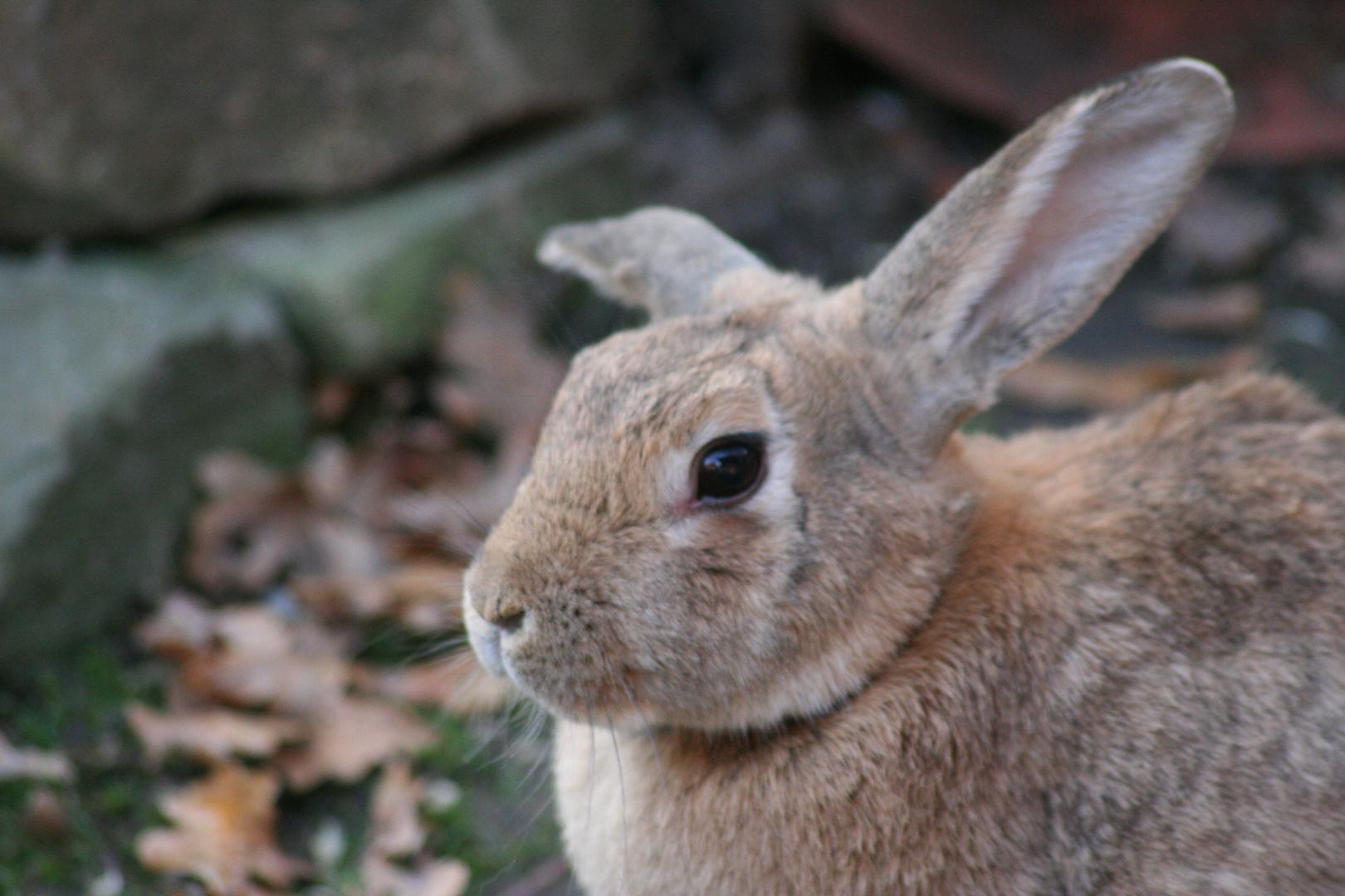 Hase oder Kaninchen ?????