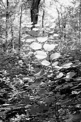 Hasel im Wald ....