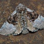 Haseleule, Eulenspinner (Colocasia coryli) - Papillon de nuit: Bonjour!