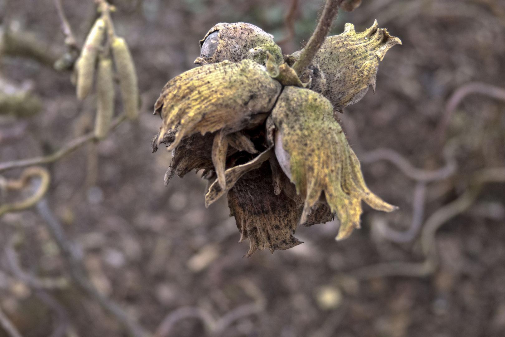 Haselnuss hat den Winter überstanden