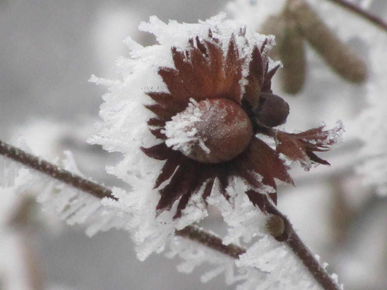 Haselnuss mit Mütze aus Schnee und Reif