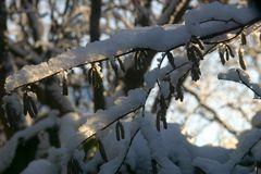 Haselnusskorkenzieher im Schnee