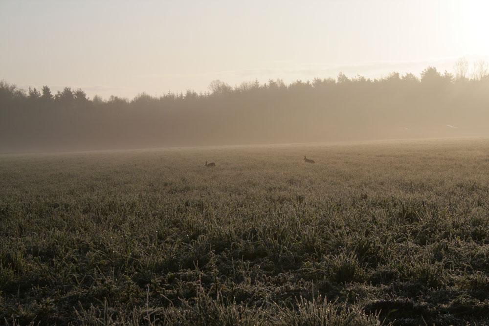 Hasen am Morgen