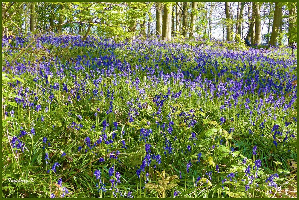 Hasenglöckchen - Blütenwunder im Frühling